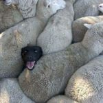 Previous sheepdog experience?