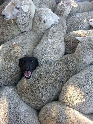 Previous sheepdog experience?