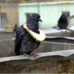 A pigeon displaying the latest lockdown symbol of status! 😃
